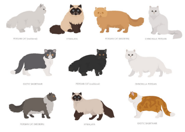 Persian Cat Types