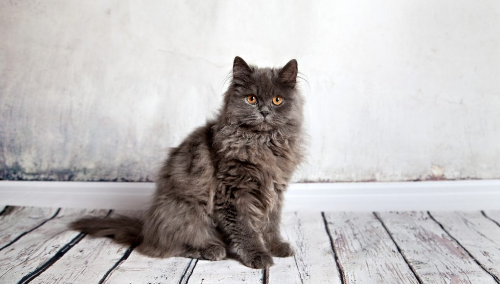 The Persian Cat Breed: A Whiskerrific Overview