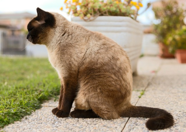 Lifespan of Siamese Feline