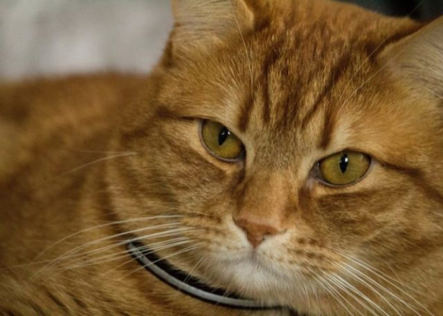 Domestic Shorthaired Cats