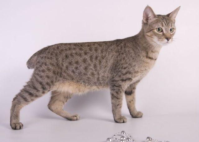 American Bobtail Cats