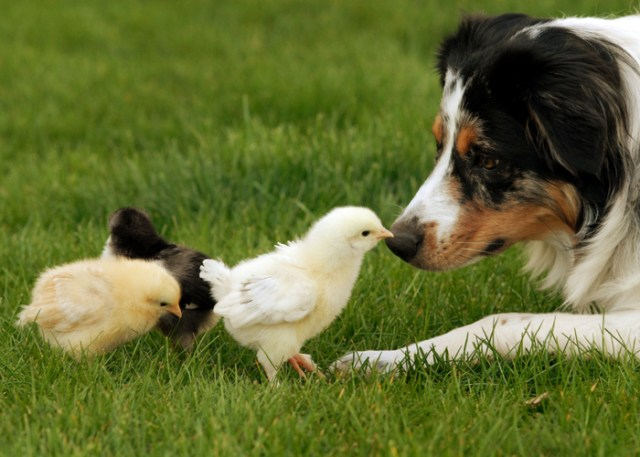 Gentle dog getting along with chicks
