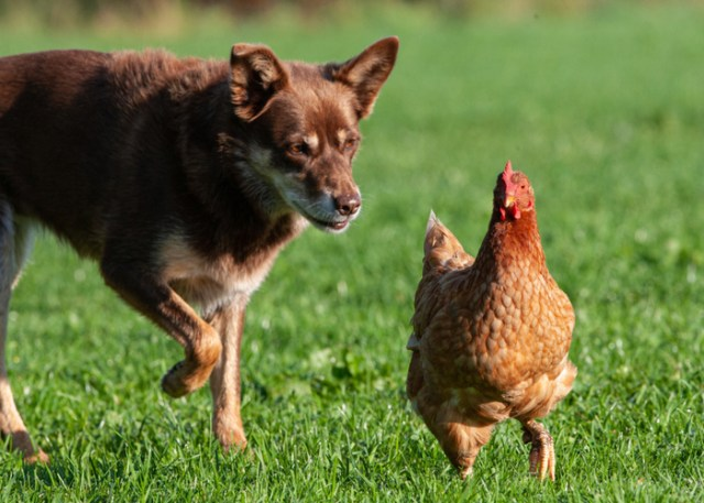 Why dogs chase chickens