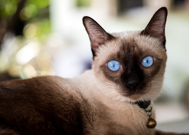 Traditional Siamese Cat's Appearance