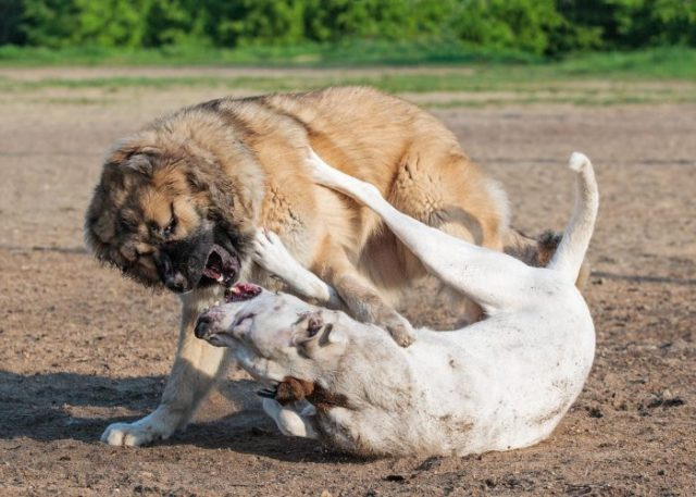 1. Focus on the more aggressive canine