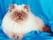 Himalayan Cats: Paw-tastic Facts And Overview About The Breed
