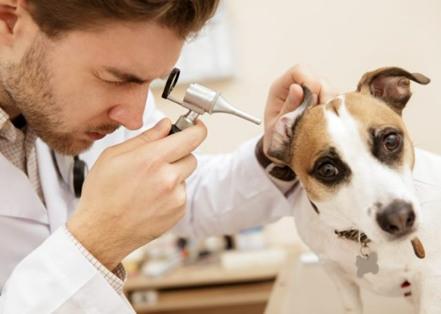 Signs, Symptoms, and Causes of Hearing Loss in Dogs