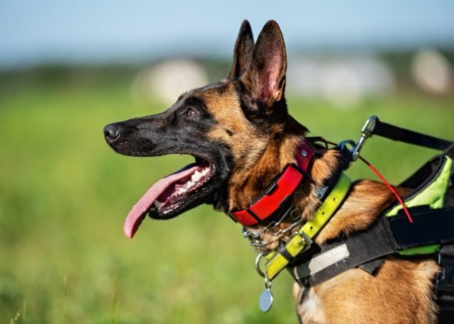 2. Prong Collars Are Specifically for Hyperactive and Aggressive Canines