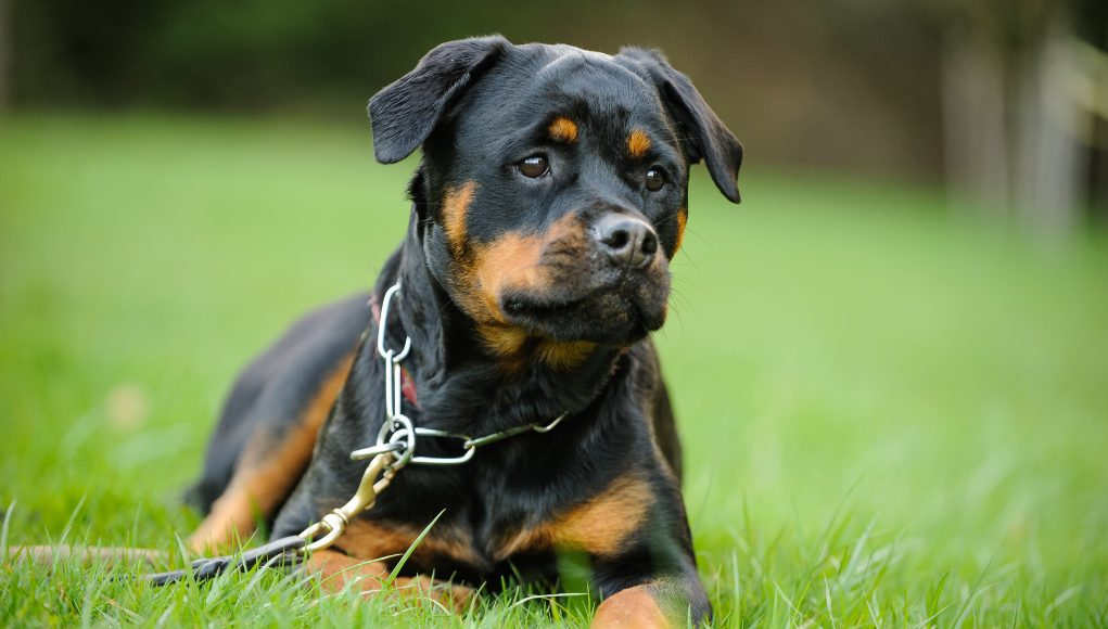 Prong Collars: Debunking The Myths And What You Need To Know