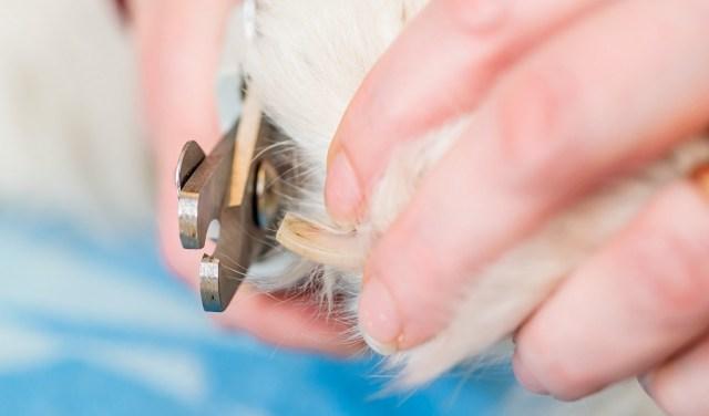 dog nail clipping up close