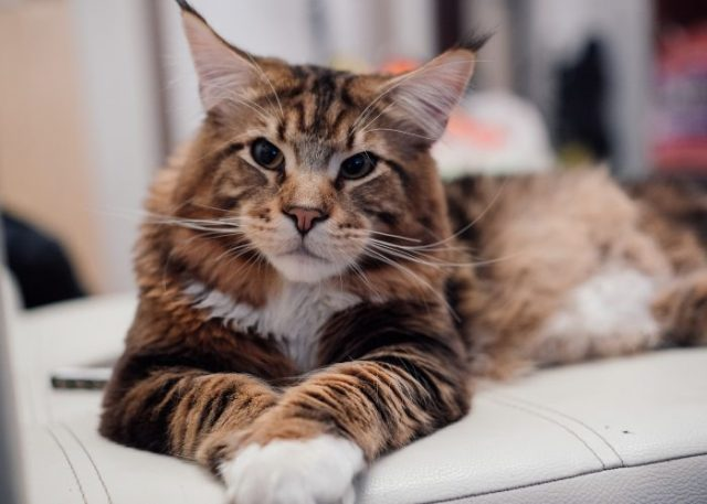 A Maine Coon's Personality and Traits