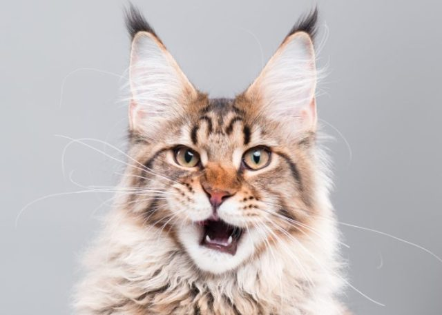 Reasons Why Maine Coons Are The Best