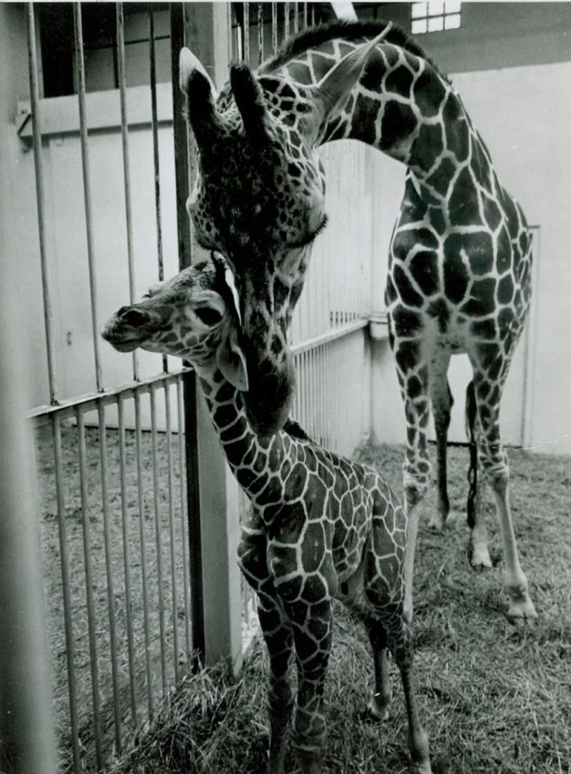 First Giraffe Born in Kansas: Sunflower