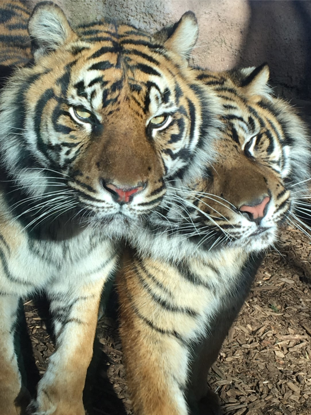May the Fourth be with You! Three Sumatran Tiger cubs, ChloJo, Shanti, and Raza, were born to mother, Jingga, and father, Rojo, on the fourth of May 2014.