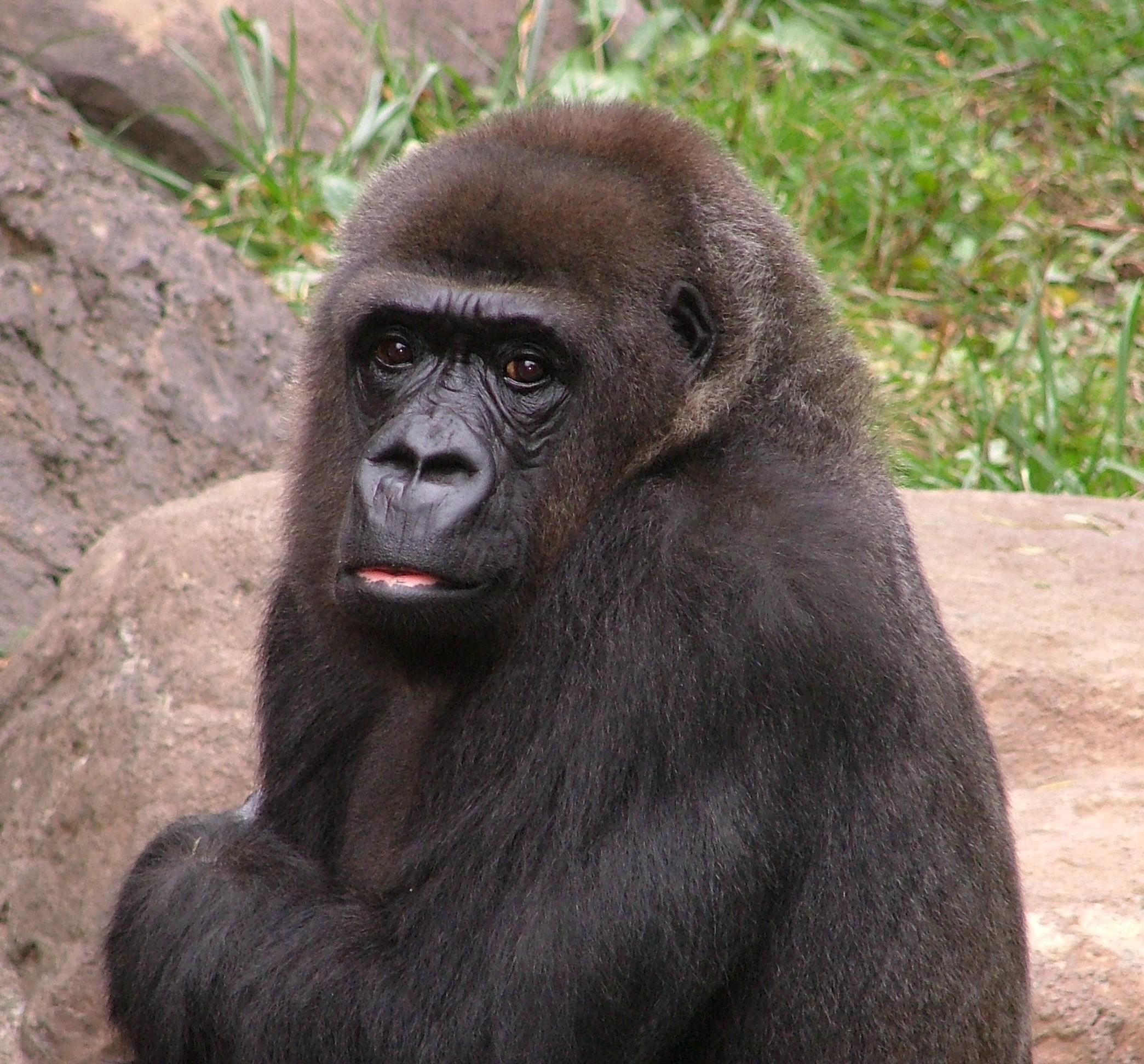 Tiffany the Western Lowland Gorilla