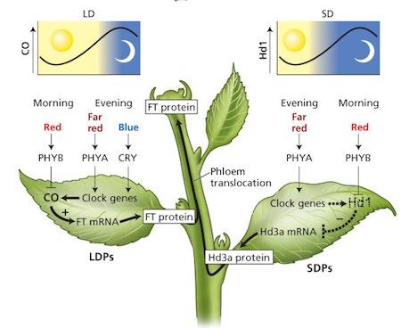 marijuana-flowering