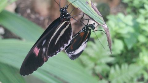 Two butterflies touching, close up