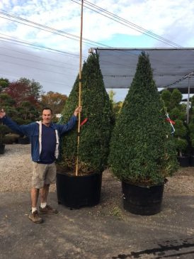 topiary-84-inch-cone-buxus