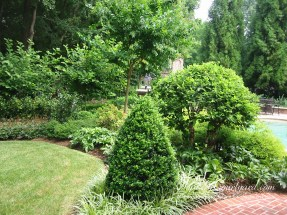 Nice cone shaped boxwood