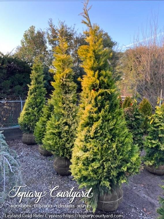 leyland-gold-rider-cypress