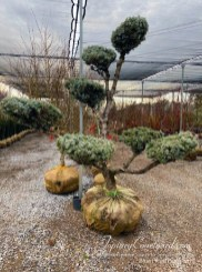 topiary-courtyard-blue-picea-pompom