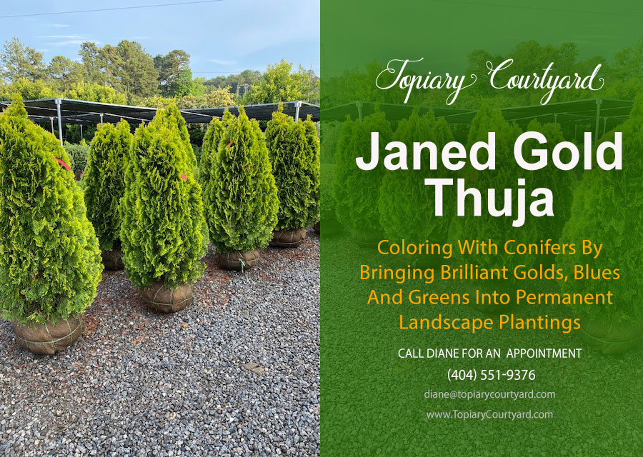 Colorful Janed Gold Thuja Conifers landscape plantings