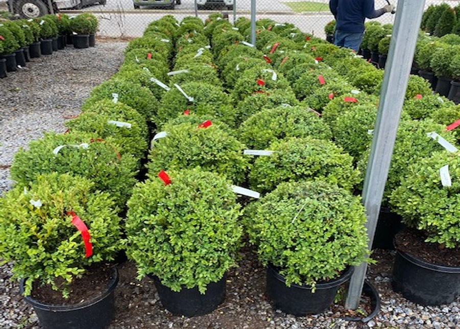 Summer fun begins with Green Mountain Boxwoods!