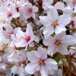 小金井公園桜まつり2016や最新の開花状況はコチラ!?屋台も