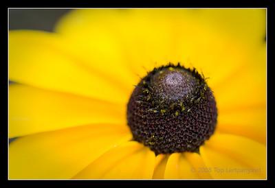 Black-Eyed Susan or Rudbeckia or coneflower