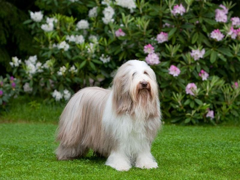 самые дорогие собаки: Бородатая колли (бардед колли) фото
