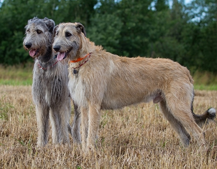 Big Dogs: Irish Wolfhound. Foto