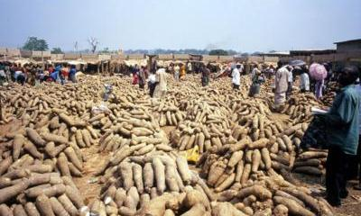 Why Yam Is Costly In Market - Farmers