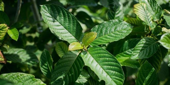 How Kratom strains affect the Maeng da?