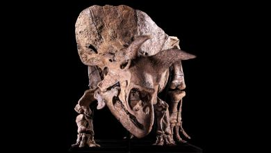 The enormous triceratops fossil is is expected to fetch between $1.4 million and $1.8 million. (Image credit: Courtesy Giquello )