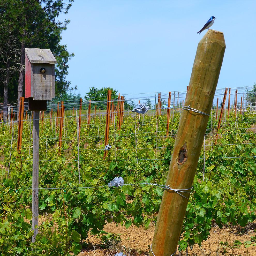 more-vineyard
