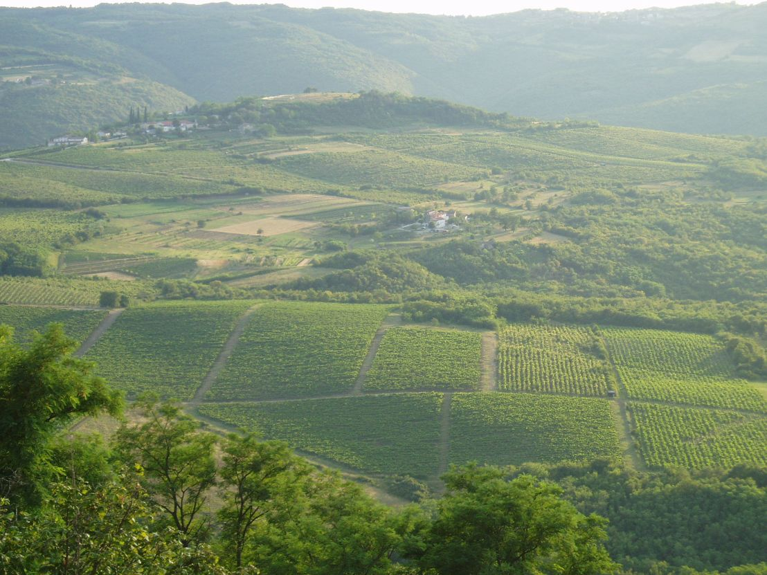 istria vineyard.JPG