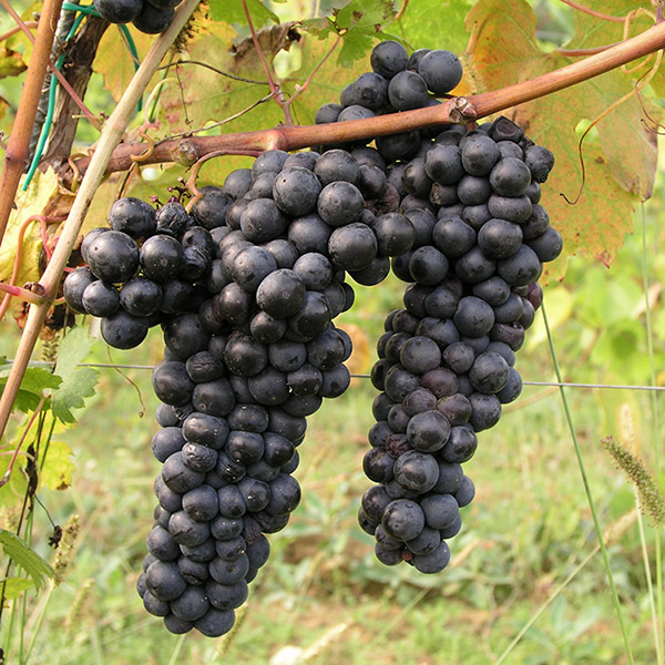 tribidrag grapes.jpg