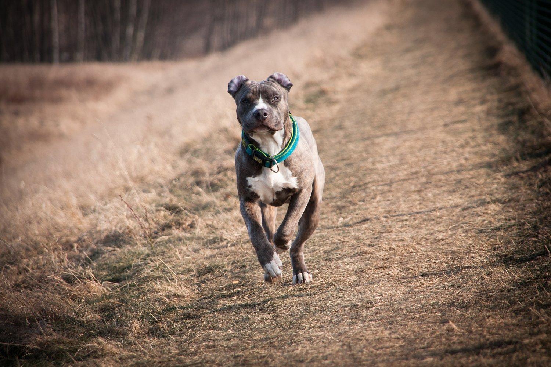 Piensos para un American Stanfordshire Terrier