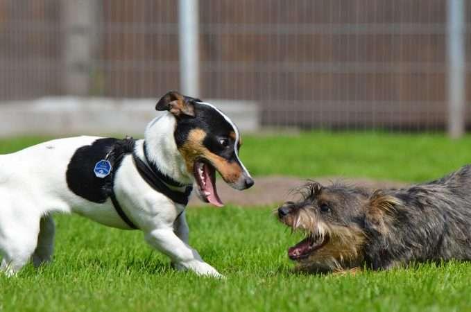 como juegan los perros