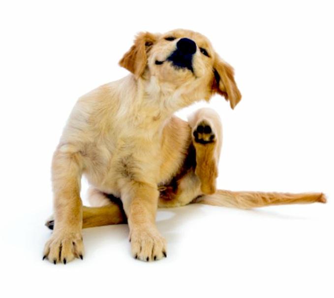 Perro con pulgas -Antiparasitarios para perros