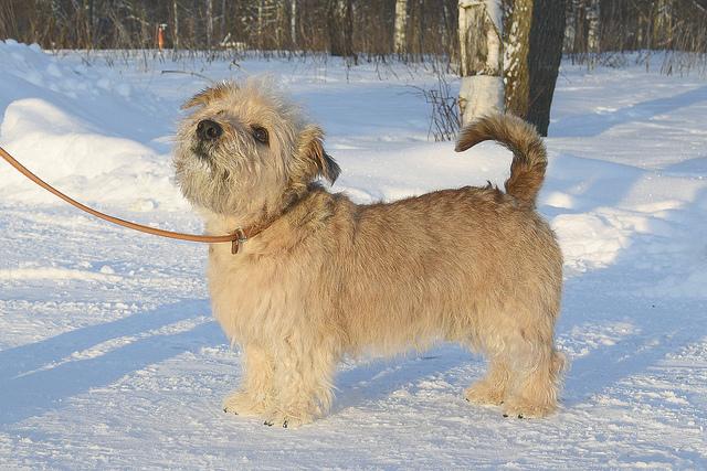 Glen-Imaal-Terrier