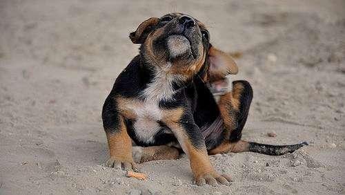 Piojos en perros cachorros