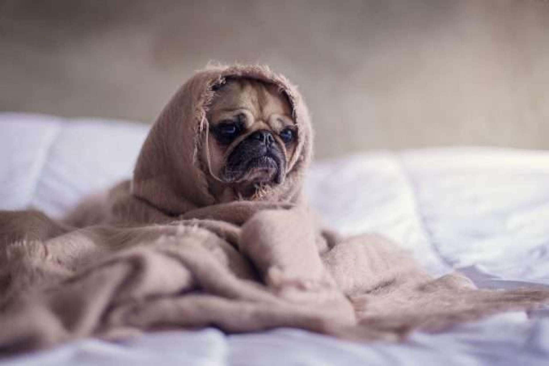 perro abrigado con una manta