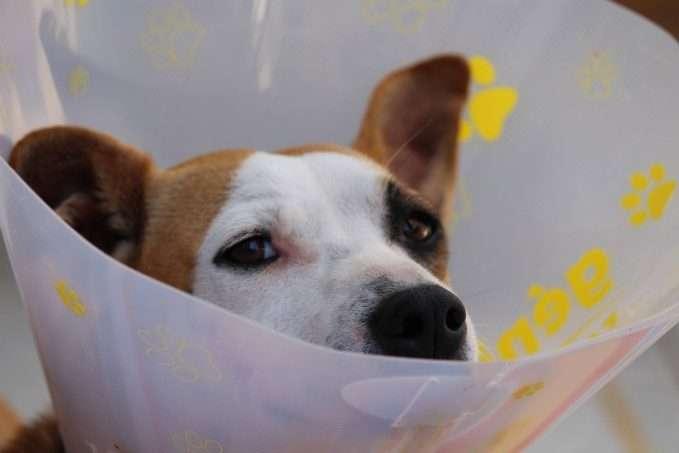 cáncer de mama en perros