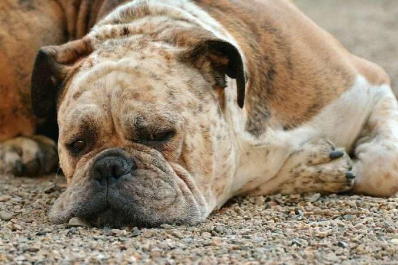 pipeta-perro