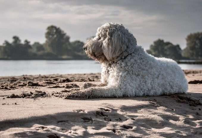 playas que admiten perros- perro descansando en la playa
