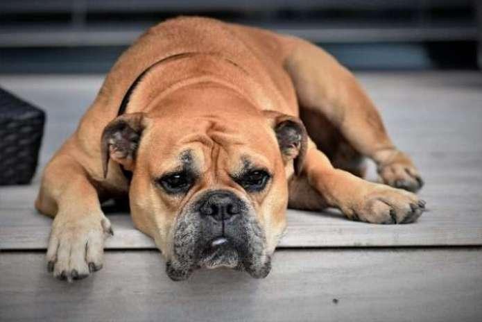 por qué aparece sangre en las heces de los perros