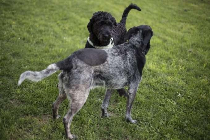 Los perros zurdos suponen la mitad de la población