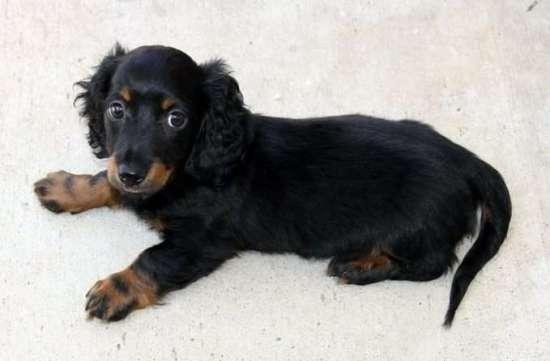 teckel-puppy