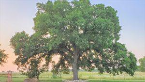 Toppled Barn Farm Tree
